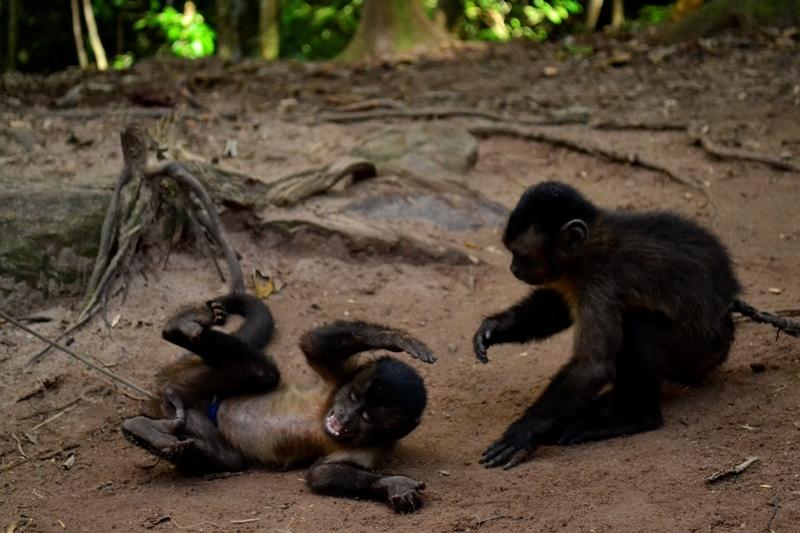 Los monos machines son animales muy sociales y juguetones.