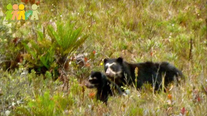 FOTONOTICIA: 22 de enero de 2014. Primer registro fotográfico de oso de anteojos, Tremarctos ornatus, con su cría. (Foto: Jeremías Garro)