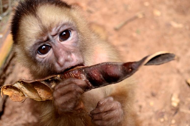 Yuranono, un mono machín blanco (Cebus albifrons) comiendo un shimbillo. (Foto: Katia Yoza).