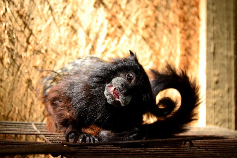 Un mono pichico (Saguinus fuscicollis) mirando curioso a la cámara. (Foto: Katia Yoza).