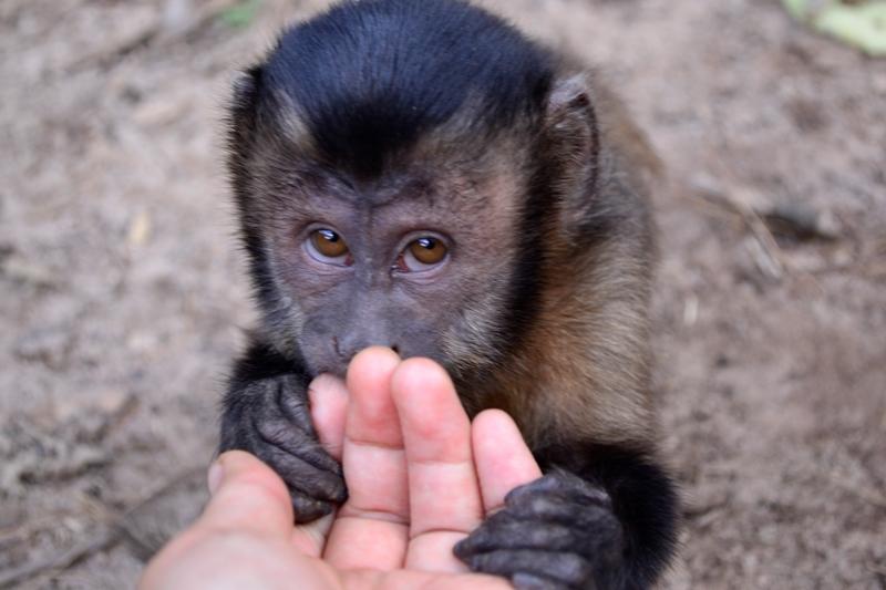 Chico, un mono machín joven (Cebus apella). (Foto: Katia Yoza).