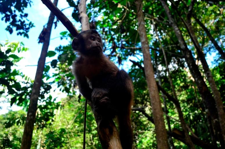 Como todo mono, Chico pasa buena parte del día saltando de árbol en árbol. (Foto: Katia Yoza).