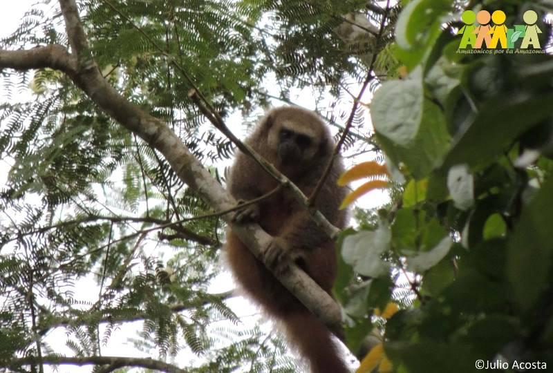 Mono tocón, Callicebus Oenanthe, en la ACP Pucunucho. (Foto: Julio Acosta).