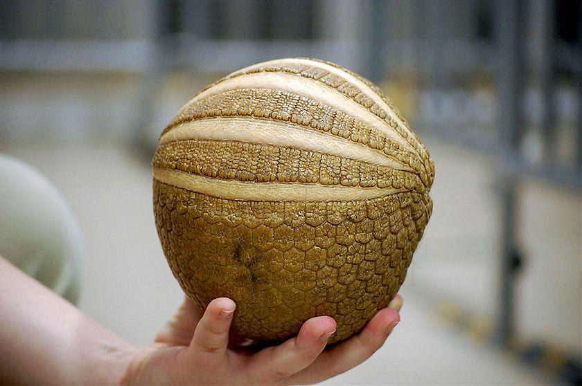 Esto no es un balón de fútbol, es un armadillo en peligro de extinción. (Foto: MTSOfan, Flickr)
